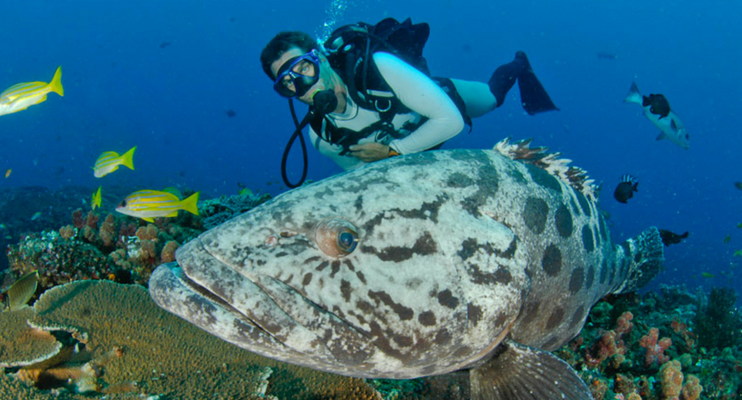 MOa14-sunway-safari-mozambique-inhambane-diving-bass-fish-huge-close-indican-ocean-padi