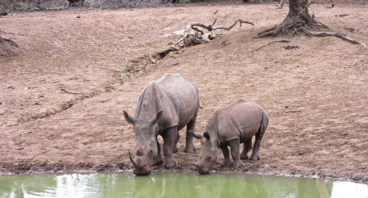 SAa17-sunway-safari-indafrica-south-africa-mkuzi-rhino-waterhole-mother-calf-baby