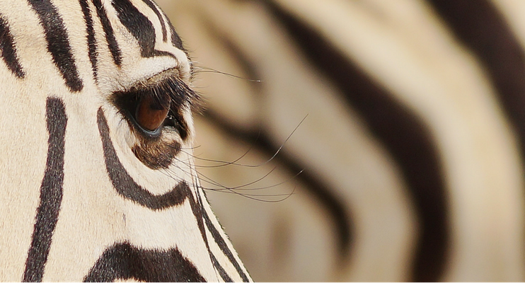 CW14-sunway-safari-indafrica-etosha-zebra-close-up-eye-eyelashes
