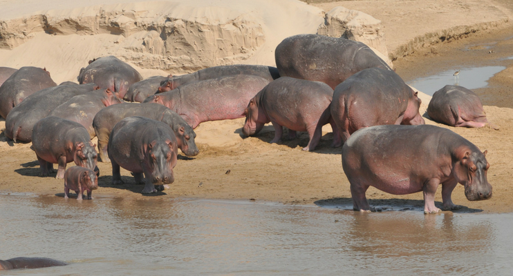 indafrica-sunway-safaris-expeition-northern-zambia-exploring-wildlife-hippo-big-five-waterhole