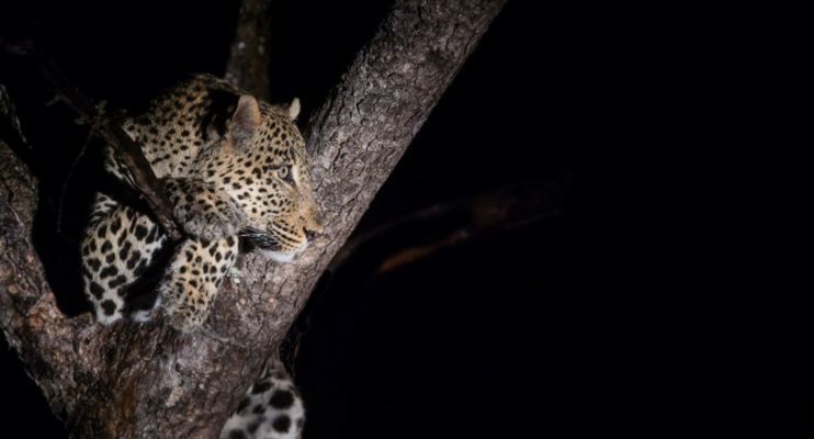 BPac09-sunway-safari-leopard-night-tree-photography-botswana-overland-tour-accommodated-experience