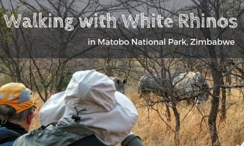 Walking with White Rhinos in Zimbabwe