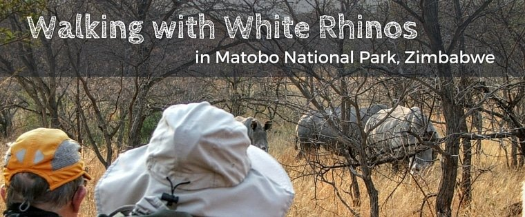 walking with white rhino in zimbabwe