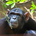 Chimpanzee at Chimfunshi Wildlife Orphanage