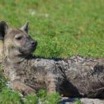 Hyena Liuwa Plains National Park Zambia