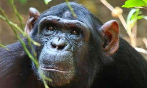chimpanzee-chimfunshi-western-zambia-safari-expedition