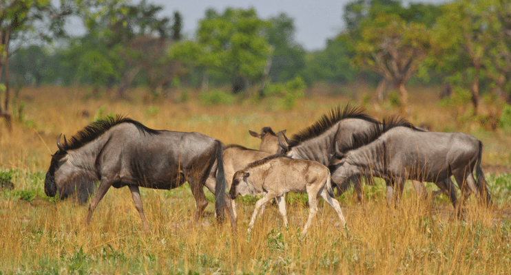 indafrica-sunway-safaris-small-group-expedition-western-zambia-adventure-offroad-wildlife-africa-blue-wildebeest-zambia