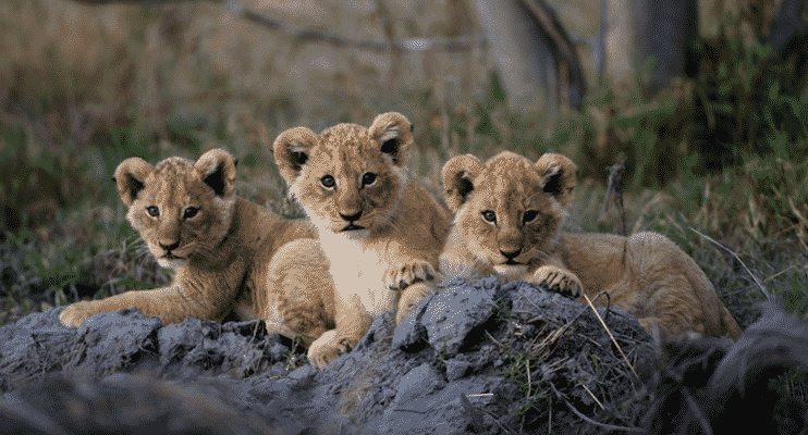 BTa14-botswana-lion-cubs-sunway-safari-closeup-photography-adventure-nature-intrepid-wildlife-wildparks