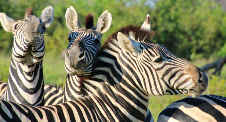BTa14-sunway-safaris-botswana-zebra-wildlife-adventure-intrepid