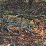 Leopard Kafue National Park Zambia