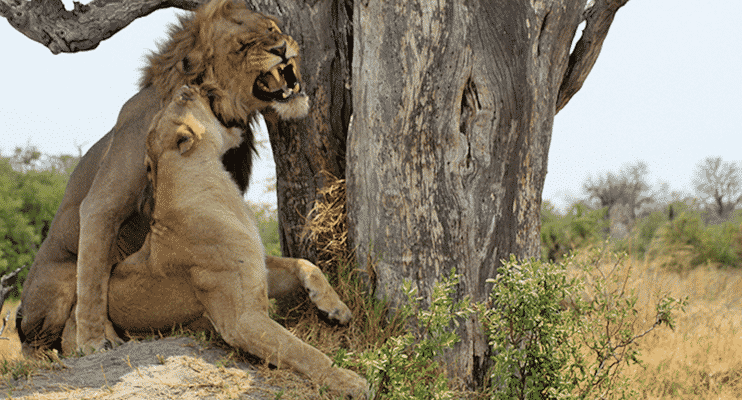 BZac15-sunway-safari-lion-lioness-moremi-botswana-wildlife-tree-roar