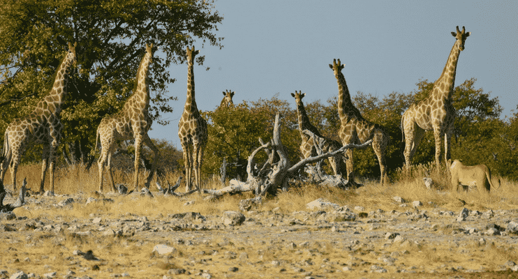 NBa21-sunway-safari-giraffe-lioness-watching-etosha-lucky-wildlife-national-park