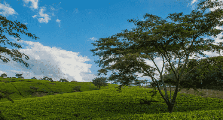 ZMa16-sunway-safari-malawi-satemwa-tea-estate-landscape-peace-calm-breathtaking