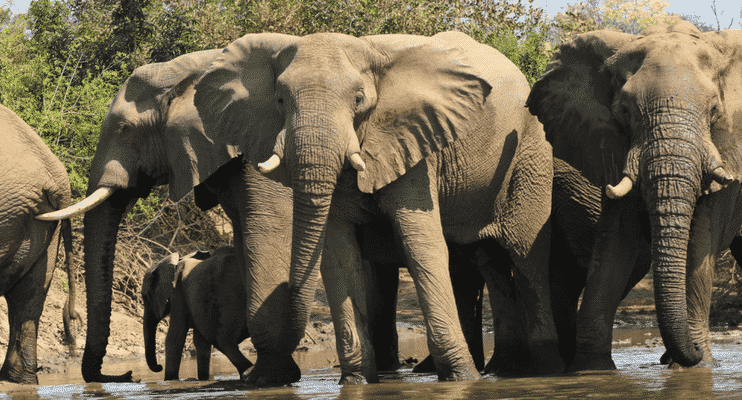 ZMa16-sunway-safari-south-luangwa-national-park-eleaphnts-waterhole-upclose-photography-africa
