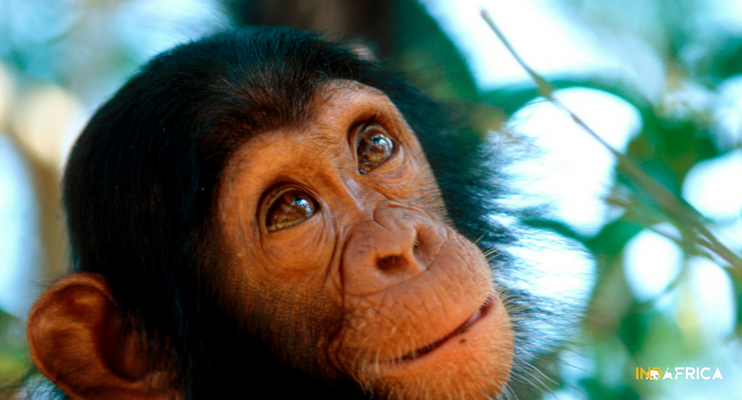 uganda-indafrica-chimpanzee-animals-close-up