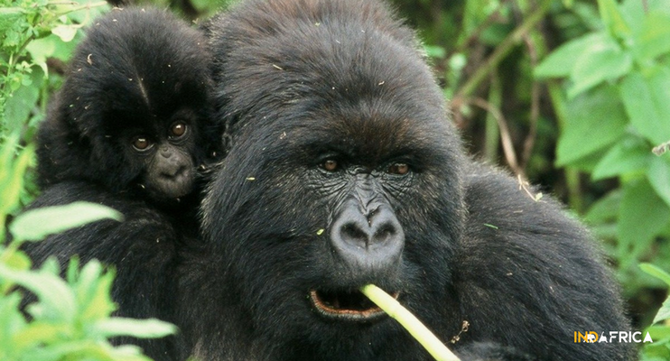 uganda-indafrica-gorillas-animals-trekking-mum-baby-carrying